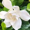 大八重くちなし gardenia