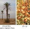 ヤシ科の植物について,少しだけ調べてみました.食用となるヤシ科植物:ココヤシ,ナツメヤシ,アブラヤシ.ナツメヤシのデーツは中東・北アフリカの伝統的な食品として有名.アブラヤシからのパーム油は植物油生産量世界一. フェニックスはカナリーヤシが正式名で,属としてはナツメヤシと同じPhoenix.