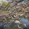 【四季を訪ねて】 鎌倉・鶴岡八幡宮 源氏池 ~ 桜(ソメイヨシノ)