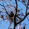 カラスの巣が!