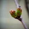 うちの桜も開花しました
