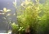 お手軽に水草を育てるには侘び草がオススメ