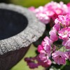 旧古河庭園「春のバラフェスティバル2016」