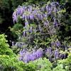 山に自生する藤の花