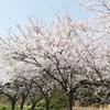 新穂潟上温泉は、桜とはなももが盛りです