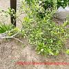 しろつめ草と倒れたみかんの木とモグラ塚