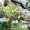 りんごの「接ぎ木」・・・その後!(ふりかえり 2019)