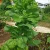家庭菜園(16)育ち過ぎサラダ菜