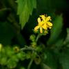 道端に咲くキンミズヒキ(金水引)