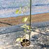 ミニトマト(アイコ)の植え付け