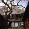 【桜梅】大原野・十輪寺の業平桜と正法寺【3/20散策記】