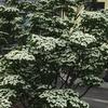 我が家のシンボルツリー「ヤマボウシ」が満開です。