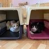 【準備編】猫をカンボジアから日本へ連れて行く