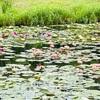 三原村の星ヶ丘公園、水連が見頃です♪