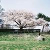 京都鴨川さくら一題・フォクトレンダー