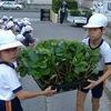 2年:イチゴの苗植え 6年:幸田町小学校体育大会