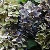 大人色の紫陽花^^
