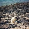 竹富島のカイジ浜を庭にする優雅な猫たち