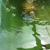 屋外飼育の金魚たち