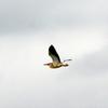 大空を飛ぶヨシゴイ