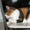 【愛猫日記】毎日アンヌさん#35
