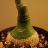アデニア・グラウカから新芽が伸びてきた。