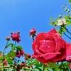 色や本数によっての違い 薔薇の花言葉