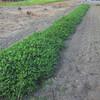 長畝のジャンボ落花生の除草