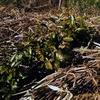 保温や乾燥・除草対策 幼木への敷き草作業