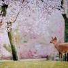 誰れかもここに 見えて散り行く ~人麻呂の桜~