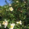 山茶花の咲くを隣の猫知らす