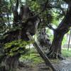 高源寺の地蔵ケヤキ