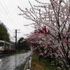 雨の中の花桃 ~再び中央西線へ~ その2