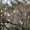 ✿湯島天神で咲き始めの梅を撮影しました❀