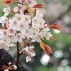 雨露と山桜