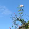 天空の白薔薇