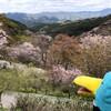 下千本!七曲り!桜のじゅうたんを抜けると吉野駅だった(吉野お花見の旅その8)(189)