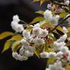平成最後のお花見「気多の白菊桜」