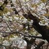 金澤の桜2020年未UP編(その5)