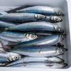 2021年4月10日 小浜漁港 お魚情報