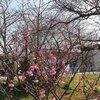 芳川で見た寒緋桜と鳥たち