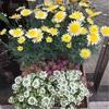店頭のお花☆