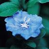 今日の誕生花「アメリカンブルー=エボルブルス」濃い青色の花は、咲いてる期間が長い!