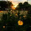 ★黄色い花と夕陽