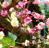 「梅花祭」