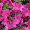 2012/04/25 花壇というよりも「植え込み」なんだが、この時期ツツジがきれい