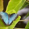 森の宝石?モルフォ蝶をご紹介。