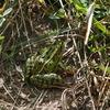 カエルに飲み込まれた虫がカエルの尻から出てくる