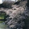 千鳥ヶ淵と靖国神社の桜満開!お花見とインドカレー