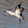 飛び立つ手賀沼のミコアイサ